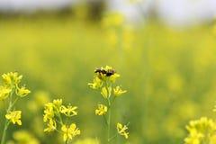 Pollated senapsgult växt Arkivfoto