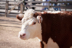 Polled Hereford Cow Royalty Free Stock Photography