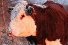 Polled Hereford Cow Royalty Free Stock Images