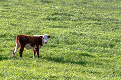 Polled Hereford heifer with blank area to right Stock Photo