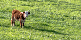 Polled Hereford heifer panorama Royalty Free Stock Images