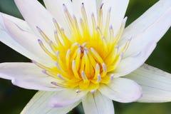 Pollen av den mjuka fokusen för lotusblommablomma (nära övre) Arkivfoto