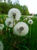 Pollen av en maskros arkivbilder