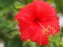 Pollen av röda hibiskusblommor Arkivfoto