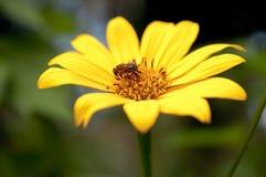 Pollen Stock Image