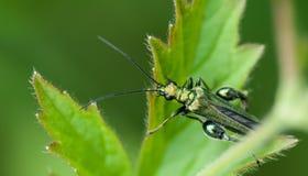 Pollen beetle - Oedemera nobilis Stock Image