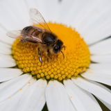 Pollen Binge. A bee samples the pollen from an ox eye daisy royalty free stock photo