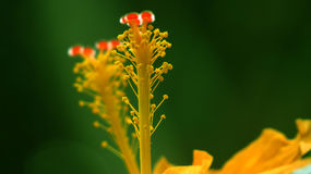 Pollen Colors. A closeup view of pollen of yellow flower on fresh green background Royalty Free Stock Images