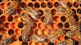 Pollen in combs stock video