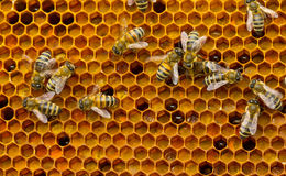 Pollen in combs Royalty Free Stock Photos