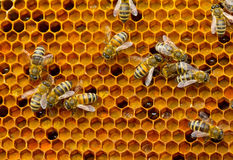 Pollen in combs Royalty Free Stock Photo