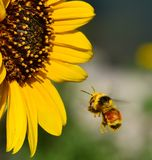 Pollen covered bee approaches sunflower Royalty Free Stock Photo