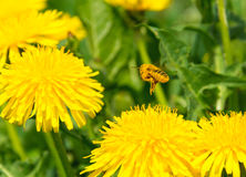 Pollen covered bee flying away from dandelion Royalty Free Stock Photography