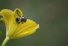 Pollen Covered Bee On Yellow Flower Royalty Free Stock Images