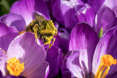 Pollen covered bumblebee Royalty Free Stock Photo