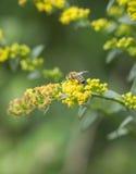 Pollen Covered Honeybee Royalty Free Stock Photo