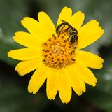 Pollen covered insect in a yellow daisy flower Stock Photo