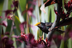 Pollen covered Starling Stock Photography