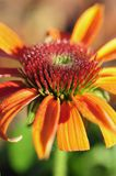 Pollen covers the spikey stamen on an orange Echinacea purpurea flower. royalty free stock photo