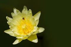 Pollen d'île d'abeille sur le fond jaune de fleur de lotus, l'espace de copie photographie stock libre de droits