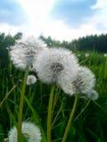 Pollen d'un pissenlit photographie stock libre de droits