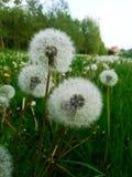 Pollen d'un pissenlit images stock
