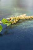 Pollen de bouleau Images stock