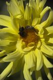 pollen de chasseurs Photos stock