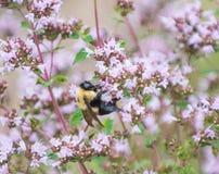 Pollen de colects de bourdon des fleurs photos libres de droits