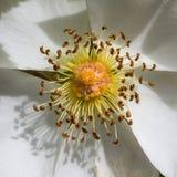 Pollen de fleur blanche Photos stock