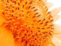 Pollen de n de pétales image libre de droits