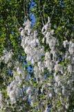 Pollen de peuplier photographie stock