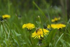 Pollen de pollination de fleur Image stock
