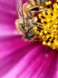 Pollen de rassemblement d'abeilles Image libre de droits