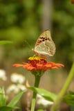 Pollen de sapement de beau papillon d'une fleur par son tronc Image stock