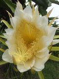 Pollen of dragon glass royalty free stock photos