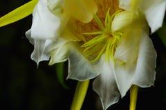 Pollen dragonfruit obraz stock