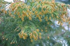 Pollen Dust of Japanese Cedar Stock Photo