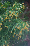 Pollen Dust of Japanese Cedar Royalty Free Stock Photos