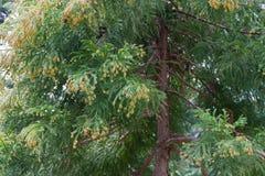 Pollen Dust of Japanese Cedar Stock Photos