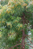Pollen Dust of Japanese Cedar Stock Photography