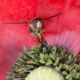 Pollen Extraction. A hoverfly collects pollen from a poppy royalty free stock photo