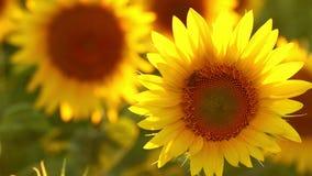 Pollen för honungbi mot efterkrav på en solros på solrosfält Fantastisk skönhet av solrosfältet med ljust solljus på blommor lager videofilmer