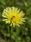 Pollen-feeding Beetle on Crepis Albida plant flowe Royalty Free Stock Photo