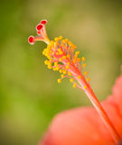 Pollen flower. Close-up of hibiscus flower pollen flower hibiscus Royalty Free Stock Photo