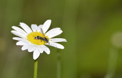 Pollen gatherer. A bee gathering pollen from a flower Stock Photography