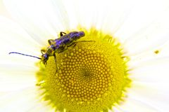 Pollen gatherer Stock Photography