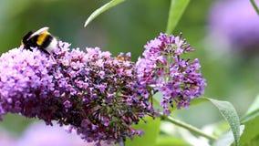 Pollen gathering earth bumblebee in Buddleja flower stock video footage