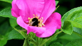 Pollen gathering earth bumblebee in Rugosa Rose stock footage