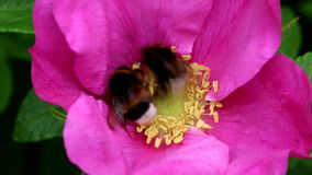 Pollen gathering earth bumblebees in Rugosa Rose stock video